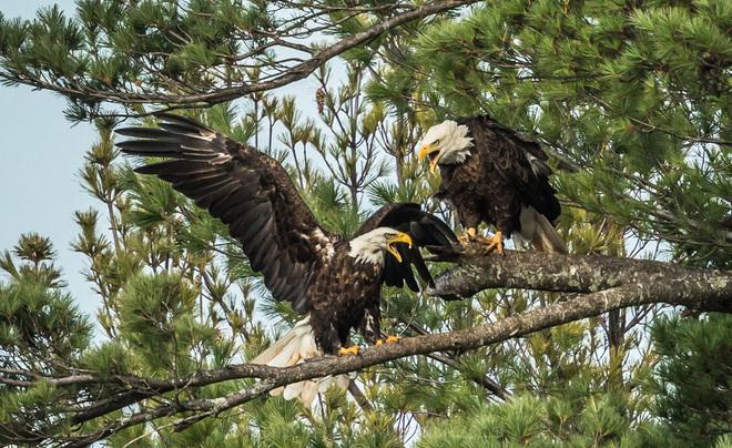 It's MY Tree! - Bald Eagles Wallace, Nova Scotia Canada