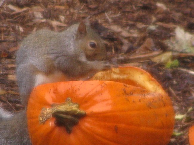 Squirrel Sitting on Pumpkin St. Catharines, Ontario Canada