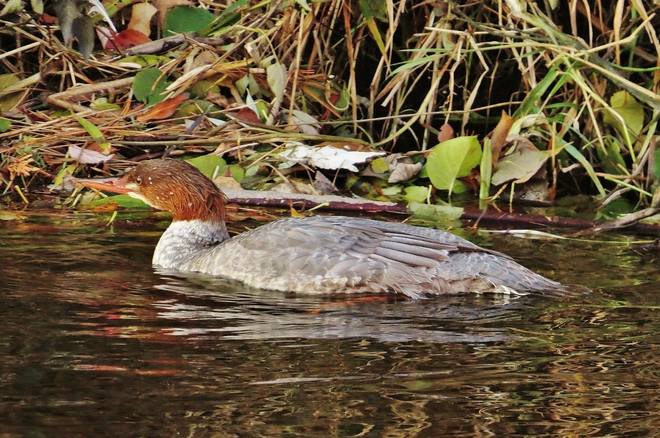 Lonely female Common Merganser cruises Parks Creek. North Bay, Ontario Canada