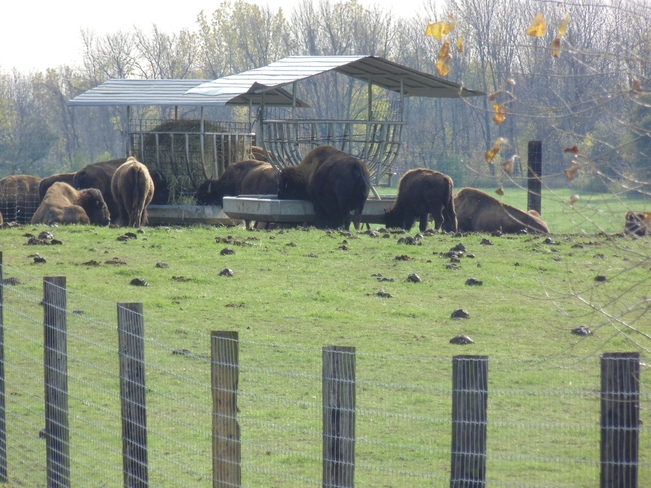 lunch time for bison Brantford, Ontario Canada