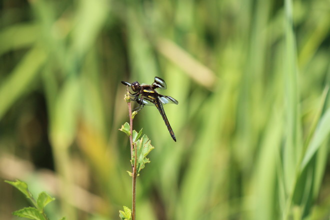 dragonfly on reed Mont-Royal, Quebec Canada