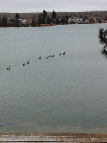 Canada Geese on Crystal Lake SK Stenen, Saskatchewan Canada