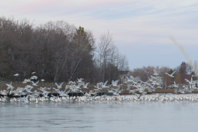 Gulls ready to go to a warmer climate Timmins, Ontario Canada