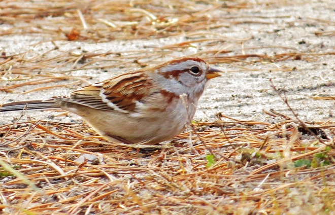 American Tree Sparrow getting down for some food. North Bay, Ontario Canada