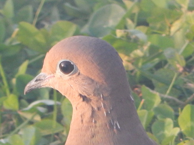 The gentle face of the Mourning Dove Kingston, Nova Scotia Canada