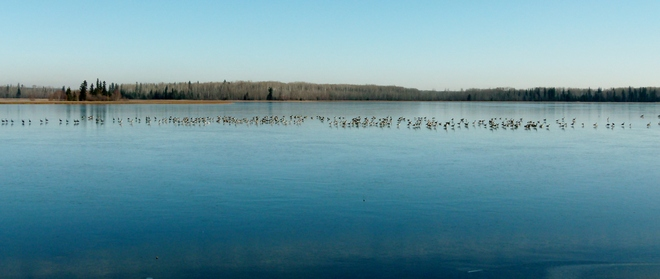 Hundreds of Geese on Island Lake Athabasca, Alberta Canada