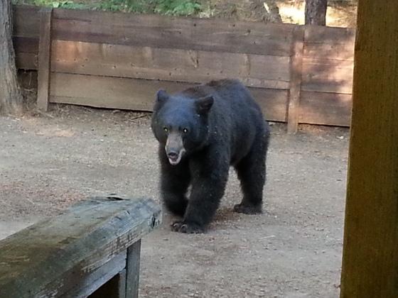 Bear at Moose Lodge!!!