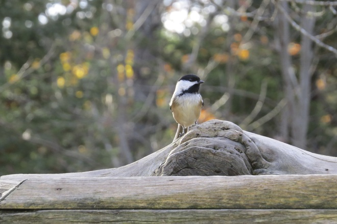 Welcome Back Wee Black-capped Chickadees :) Chester, Nova Scotia Canada