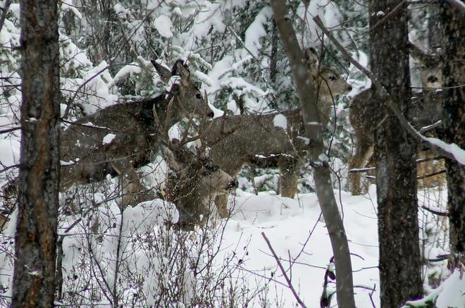 mule deer Kimberley, British Columbia Canada