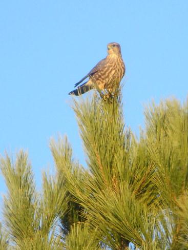 Small Hawk Brandon, Manitoba Canada
