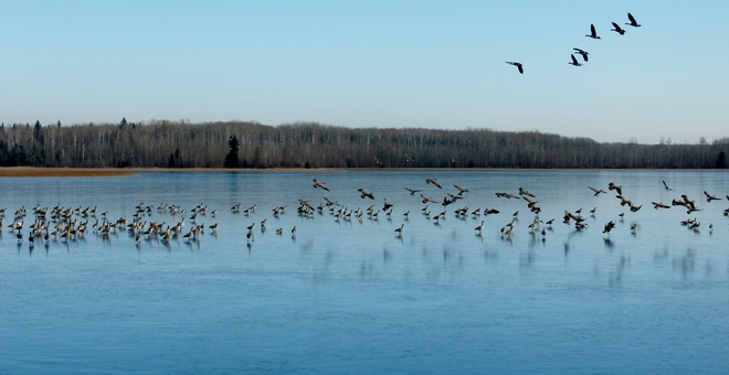 Gathering of Geese on Island Lake Athabasca, Alberta Canada