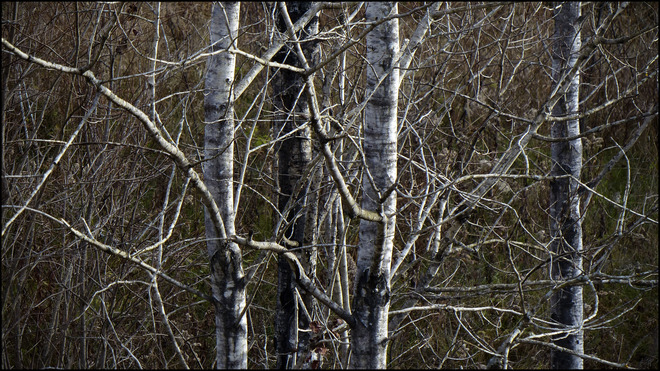 Sheriff Creek red trail,tangle of birches. Elliot Lake, Ontario Canada