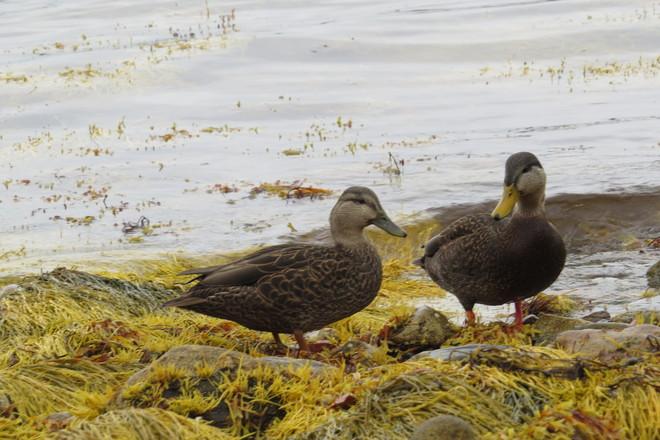 American Black Duck Mates Chester, Nova Scotia Canada