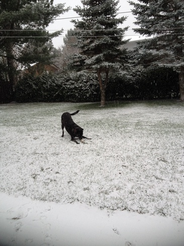 Stanley enjoying the snow! Dowling, Ontario Canada