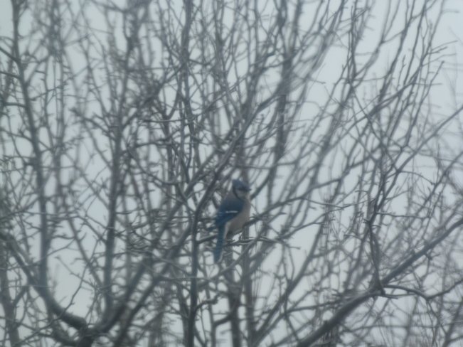 Blue Jay sitting in a tree Oxdrift, Ontario Canada