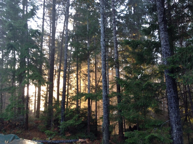 Morning sun and fog in trees Comox Valley, British Columbia Canada