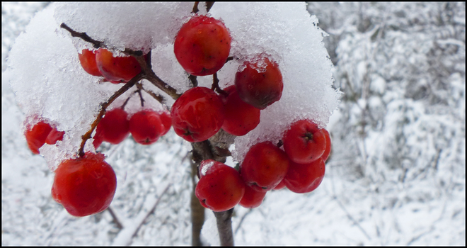 Esten Dr. red berries covered in snow. Elliot Lake, Ontario Canada