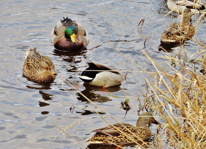 I think that Mallard Drake has spotted me!?! North Bay, Ontario Canada