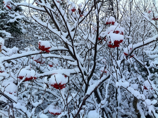 Dogberries Laden With Snow Gander, Newfoundland and Labrador Canada