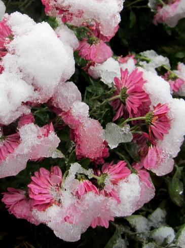 Snowy Mums Hillsborough Park, Prince Edward Island Canada
