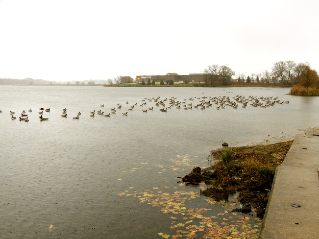 Guess where the geese get fed. Port Perry, Ontario Canada