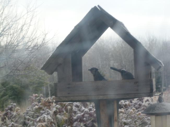 A pair of blue jays getting food from the birdfeeder Oxdrift, Ontario Canada