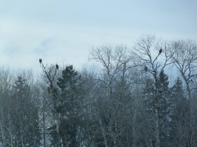 A group of eagles sitting in some trees Oxdrift, Ontario Canada
