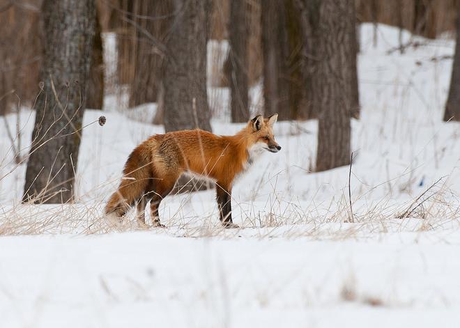 Red Fox Boucherville, Quebec Canada