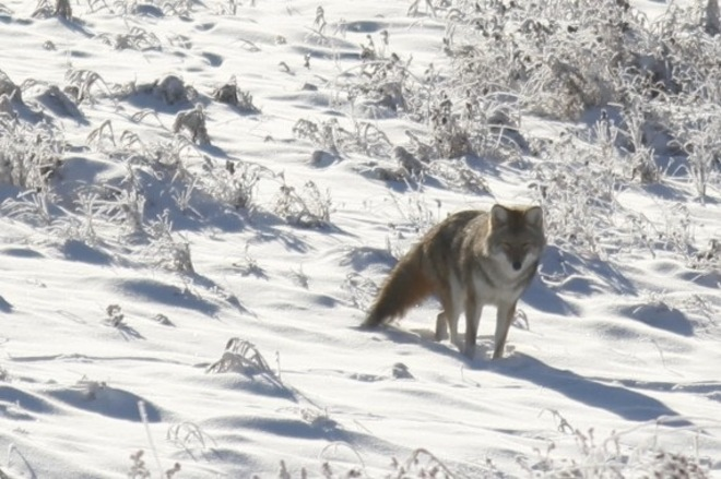 Coyote on Frosty Day