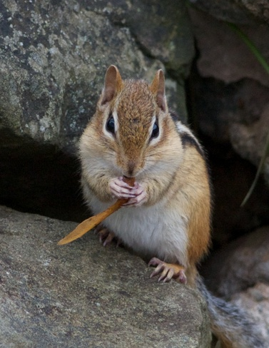Eastern chipmunk eating a maple seed Moncton, New Brunswick Canada