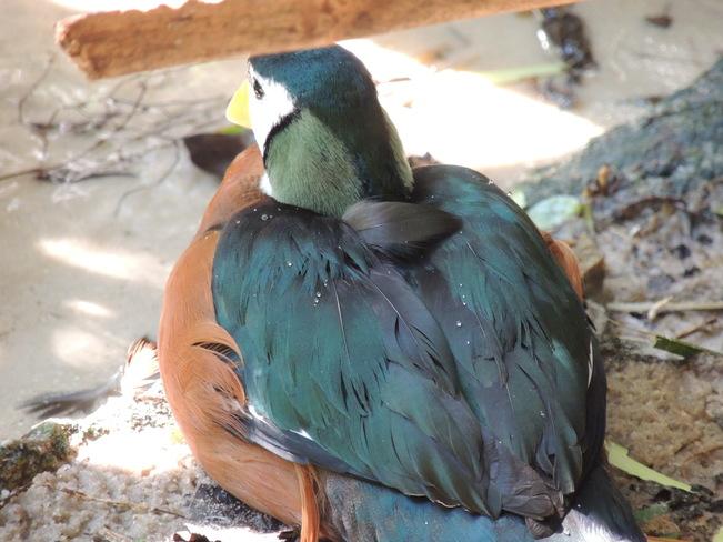 Pygmy Goose Orlando, Florida United States