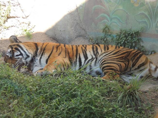 Tiger Orlando, Florida United States