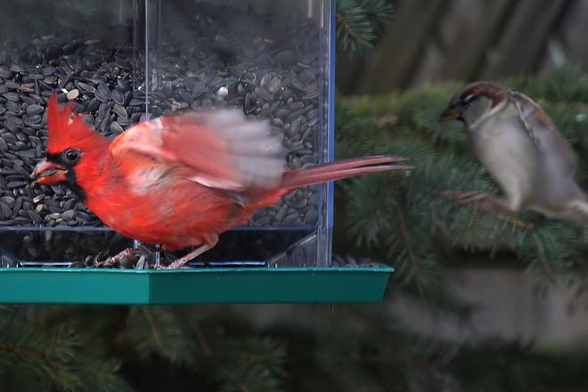 Surprise attack at the feeder? Cambridge, Ontario Canada