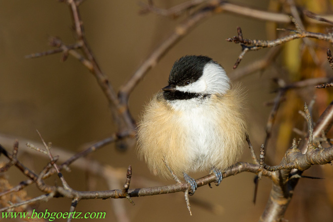 cold chickadee Kitchener, Ontario Canada