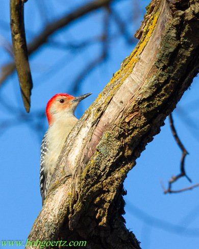 Red-bellied Woodpecker Kitchener, Ontario Canada