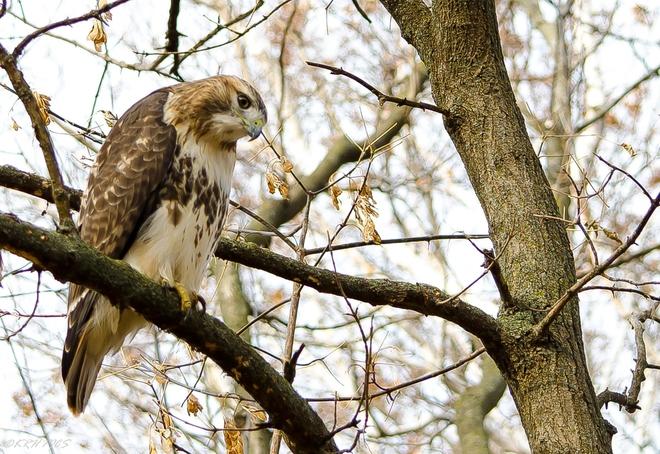 Redtailed Hawk Ajax, Ontario Canada