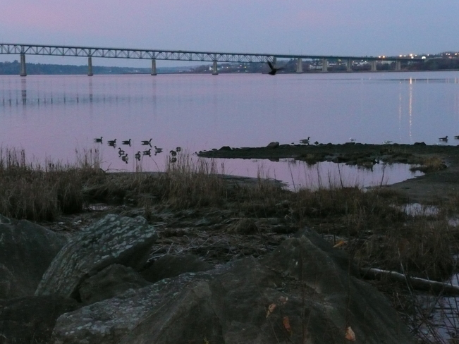 Wild geese in early morning Miramichi, New Brunswick Canada