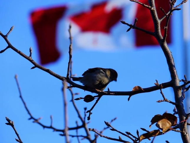 Patriotic Bird London, Ontario Canada
