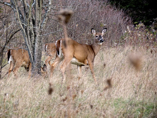A Doe and her two fawns grazing Kingston, Ontario Canada