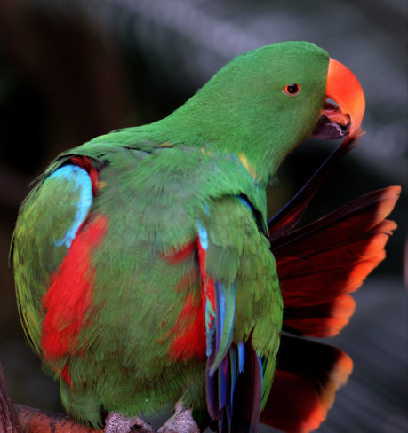 Male Eclectus Parrot Vancouver, British Columbia Canada