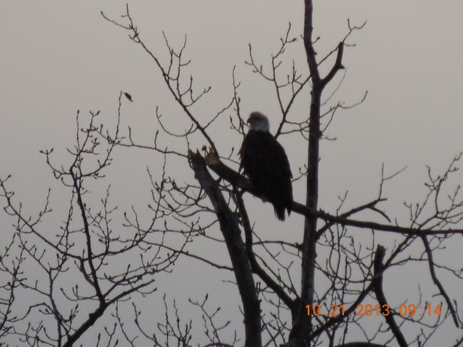 bald eagle Broadview, Saskatchewan Canada