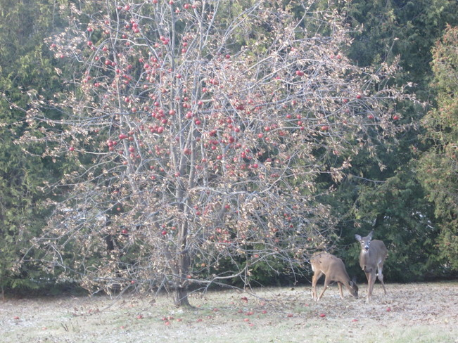 Two deer by the apple tree