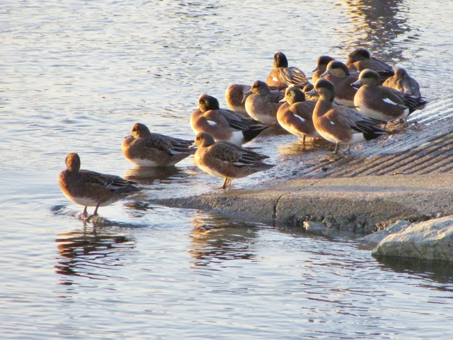 Ducks gather in the sunlight at the end of boat ramp by Tulista Park Sidney, British Columbia Canada