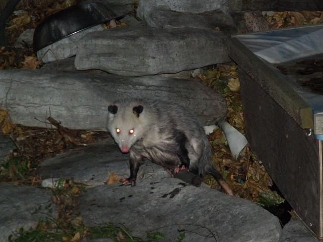Odd Opossum Courtice, Ontario Canada