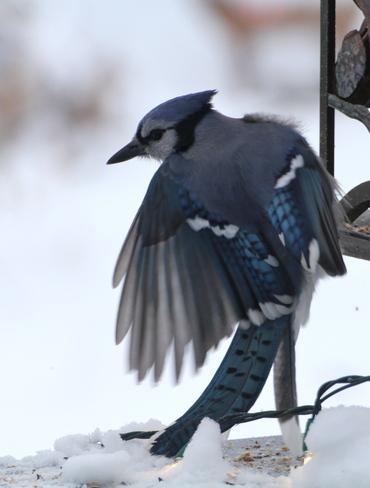 American Blue Jay Dalmeny, Saskatchewan Canada