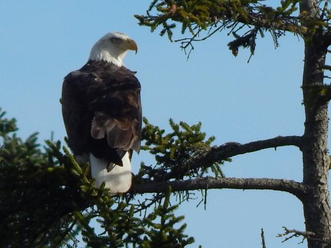 Eagle scoping the scene Fredericton, New Brunswick Canada