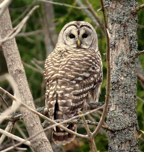 Barred Owl Hastings, Ontario Canada