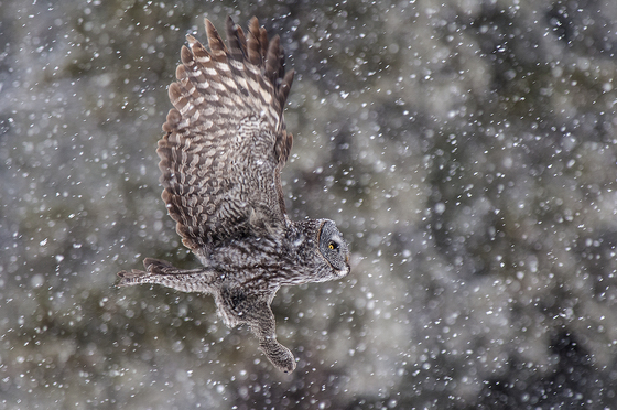 5c. Great gray owl in snowstorm