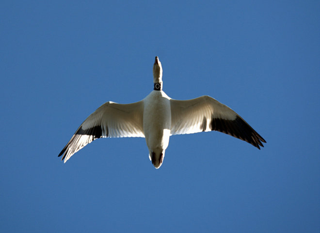 Collared Snow Goose Delta, British Columbia Canada