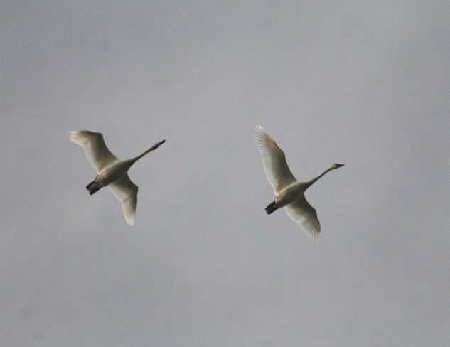 trumpeter swans Abbotsford, British Columbia Canada